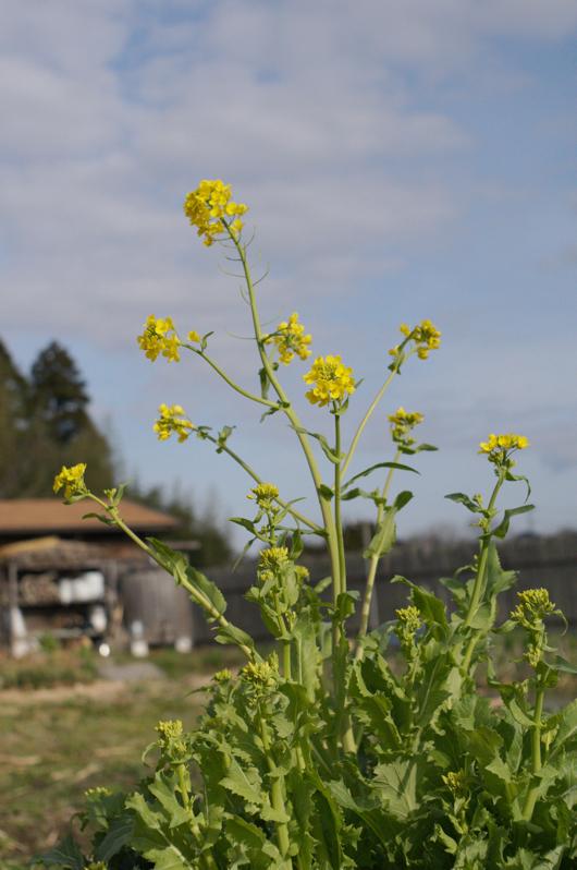 房総フィールド マスタードの菜の花