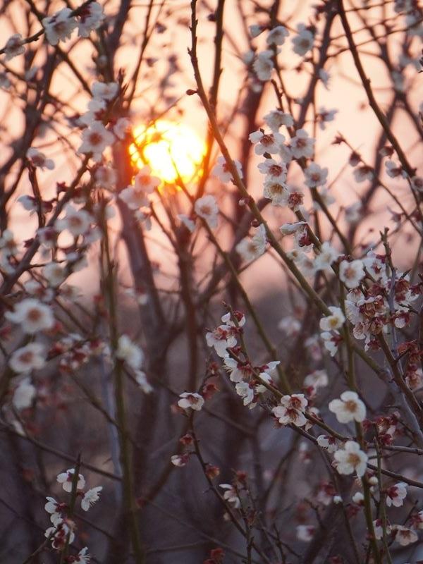 朝日と白梅