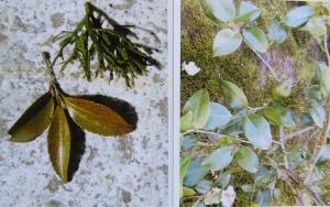 2種の葉が生えた木