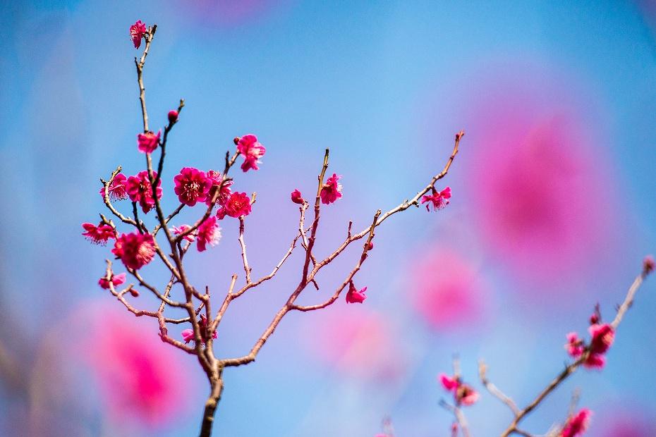 2018.03.14 兼六園の梅林 1