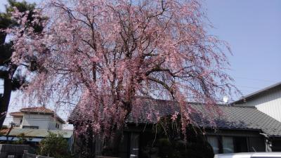 鎌ヶ谷一の枝垂桜