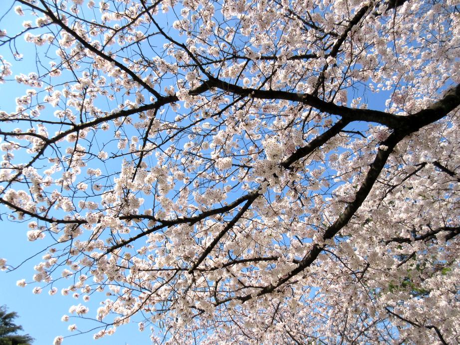 2018年3月28日 桜