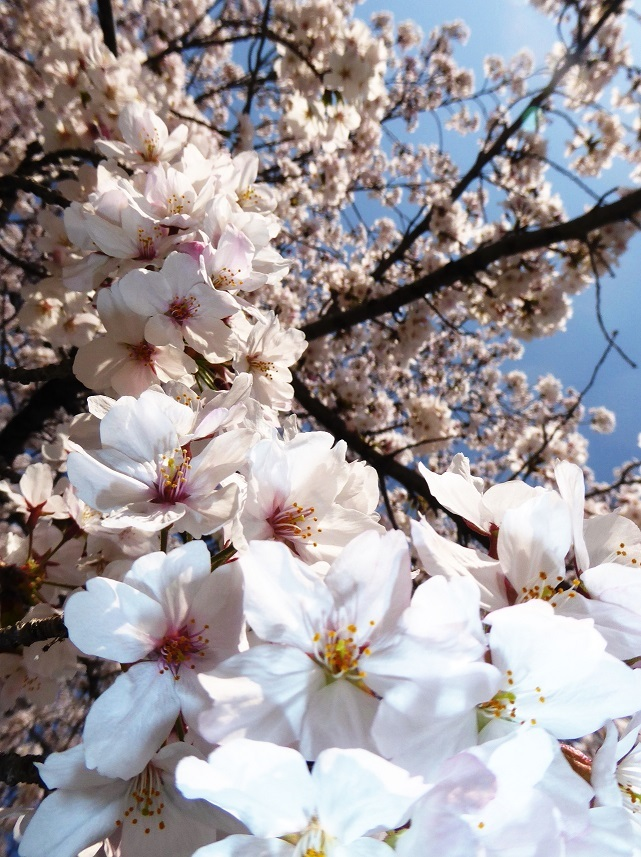 南押切公園の桜3