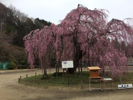 孝子桜2017年 4月