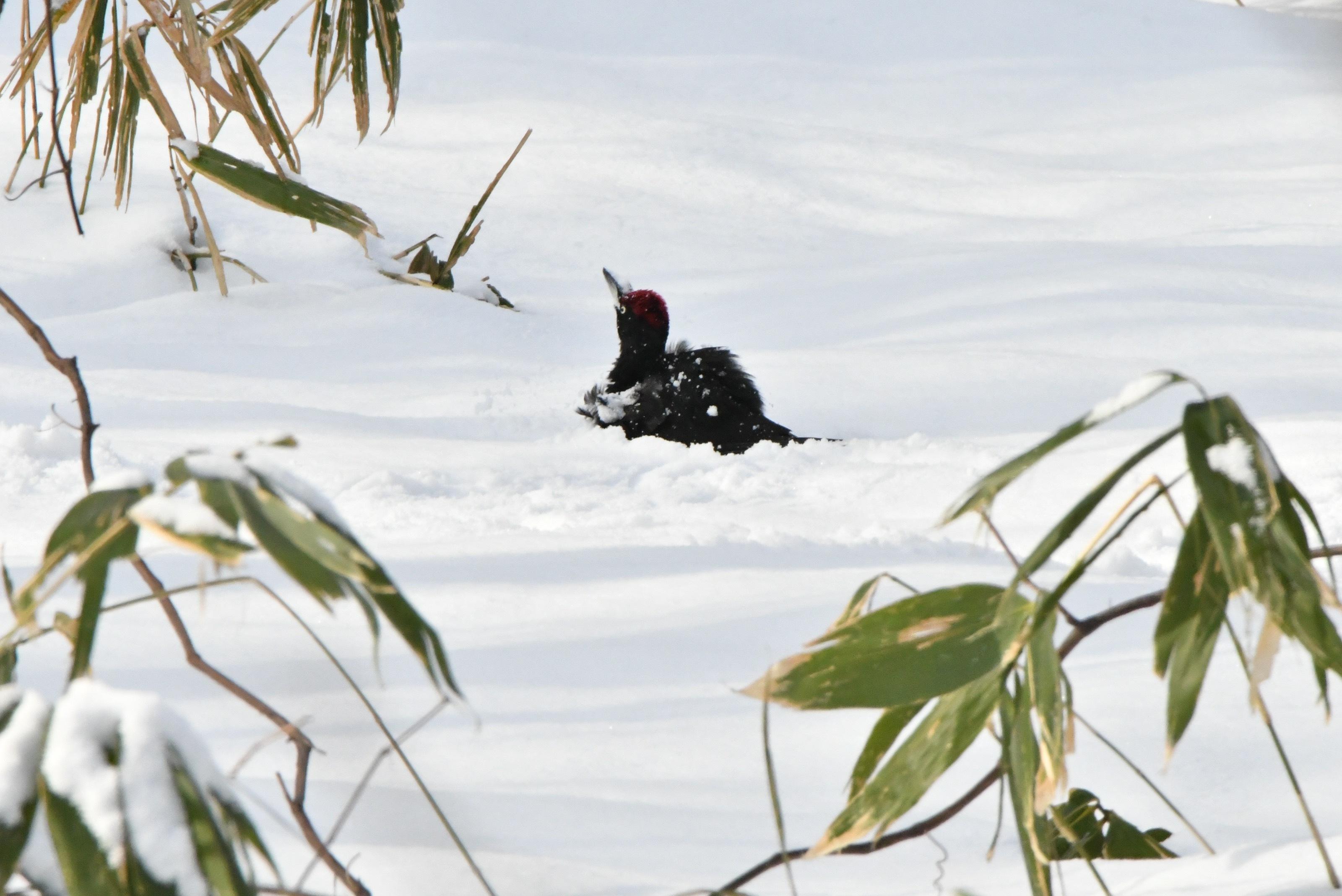 クマゲラ 雪浴び