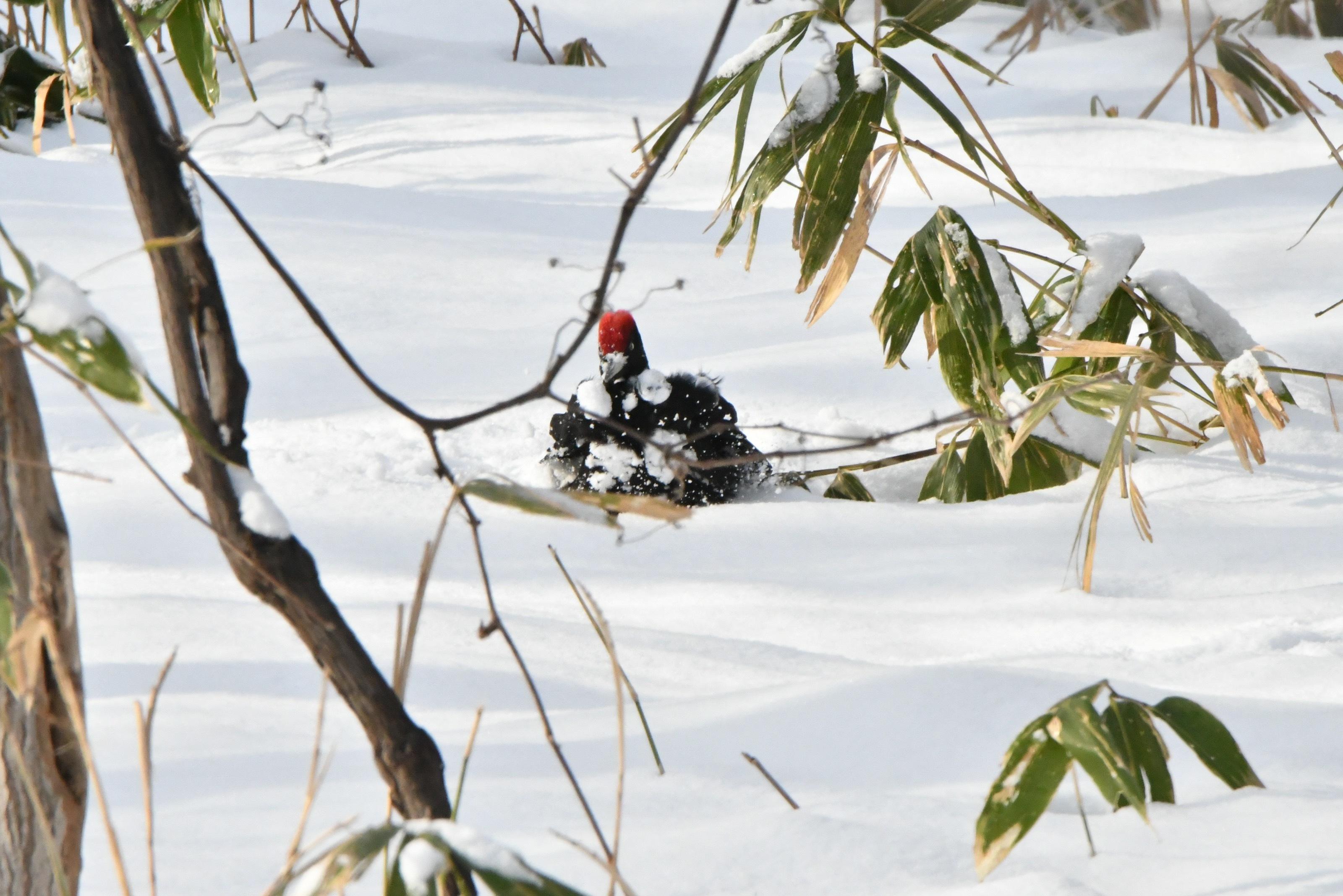 雪玉を胸につけるクマゲラ雄
