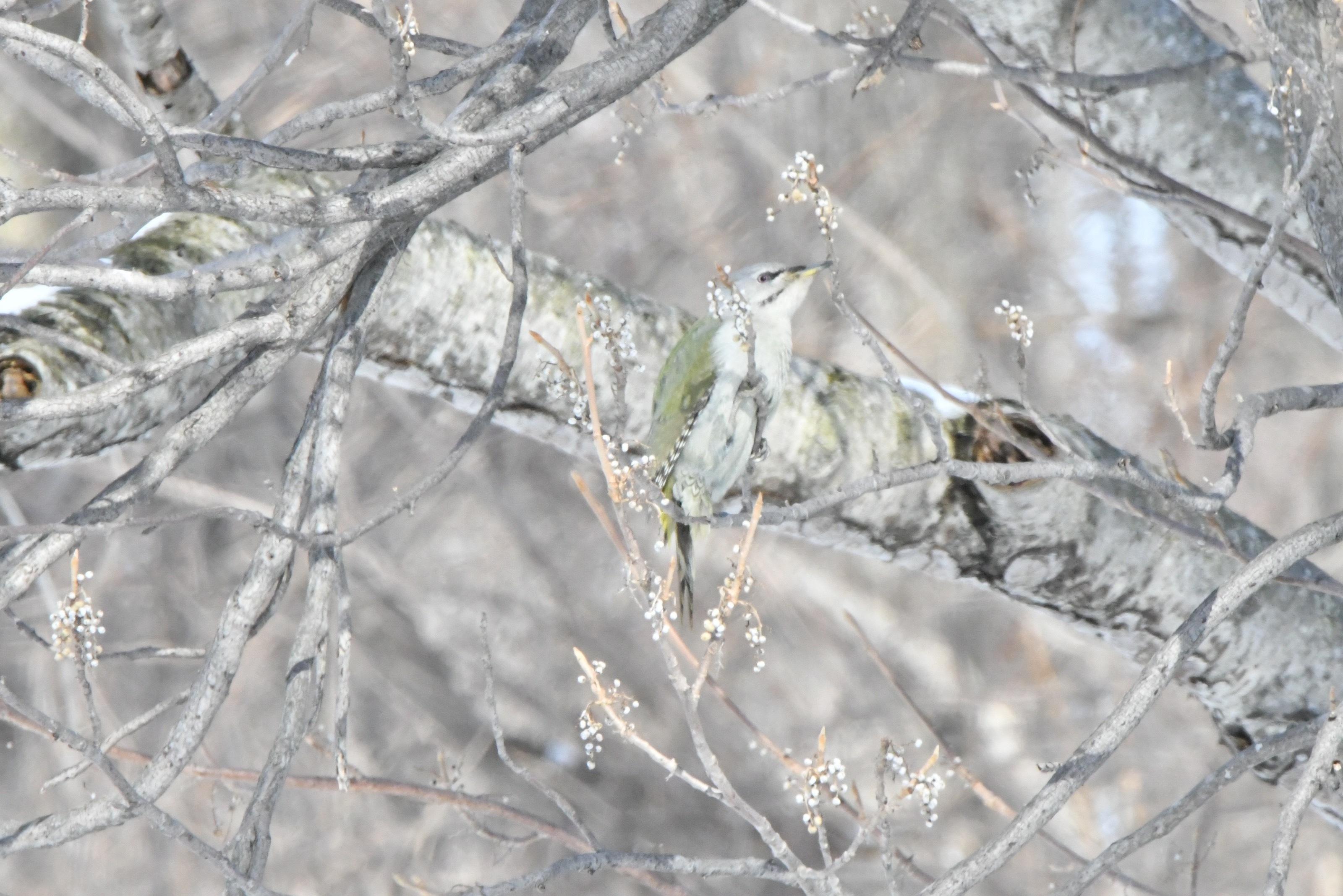 ウルシの実を食べるヤマゲラ雌