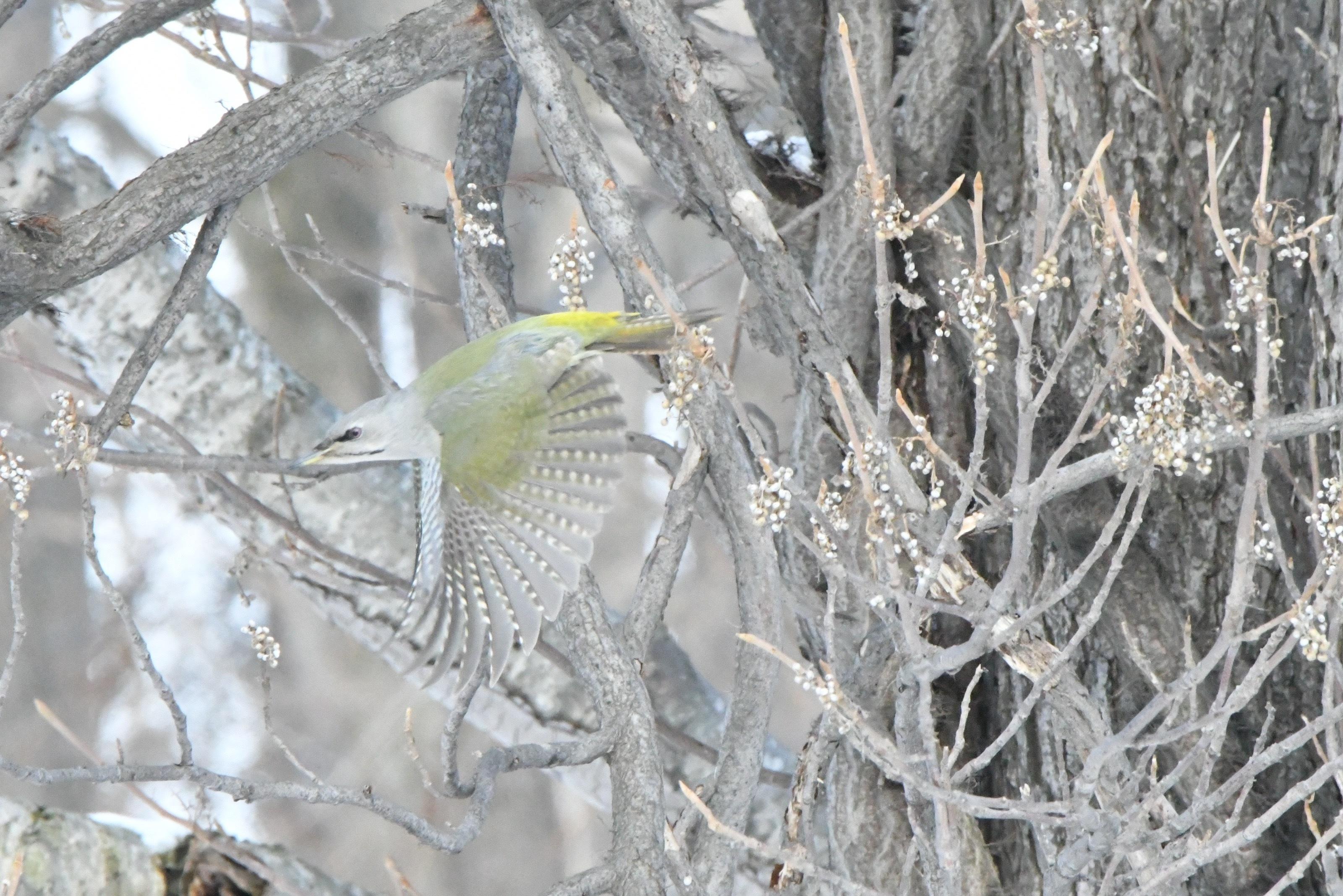 ヤマゲラ雌飛翔