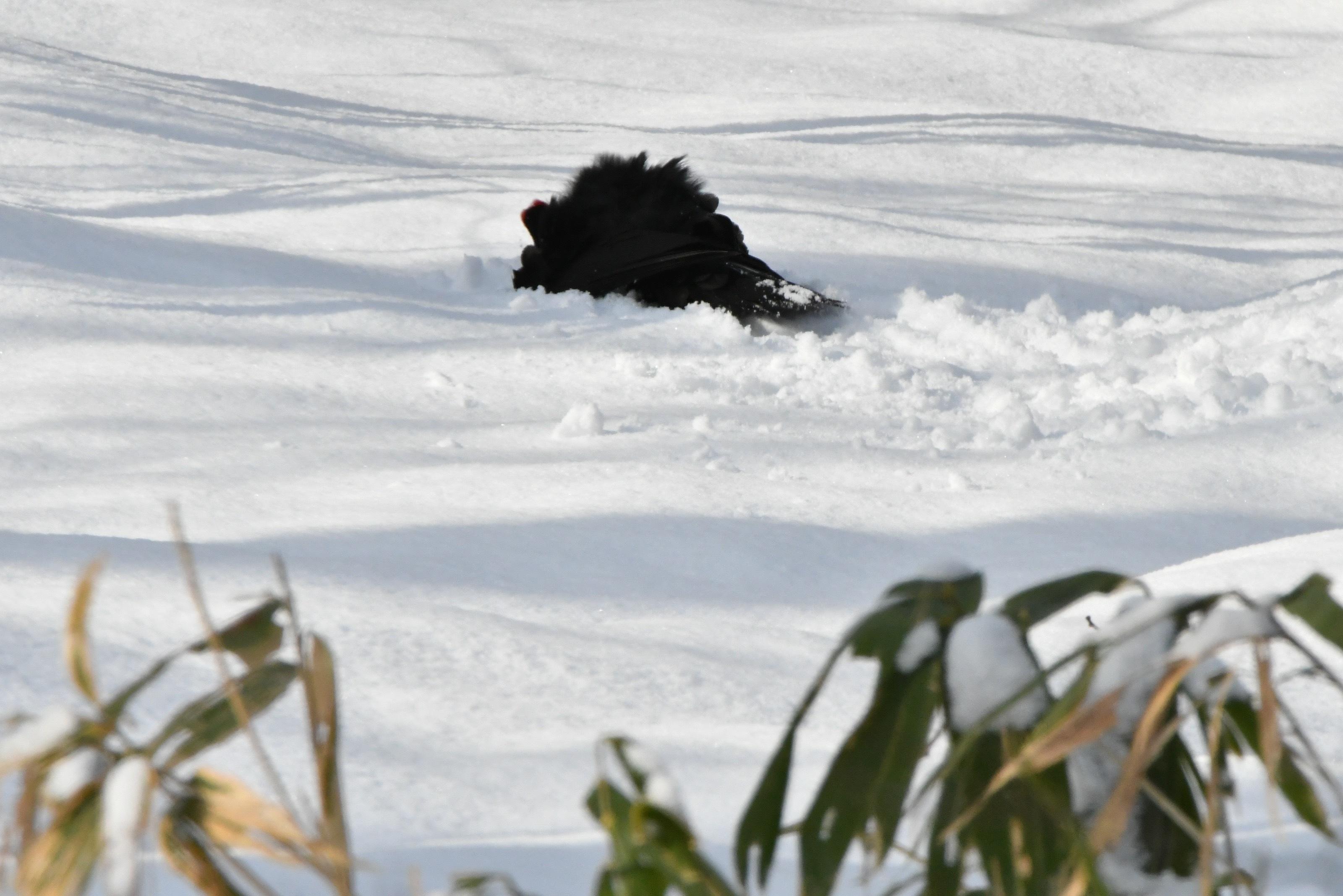 クマゲラ 雪浴び3