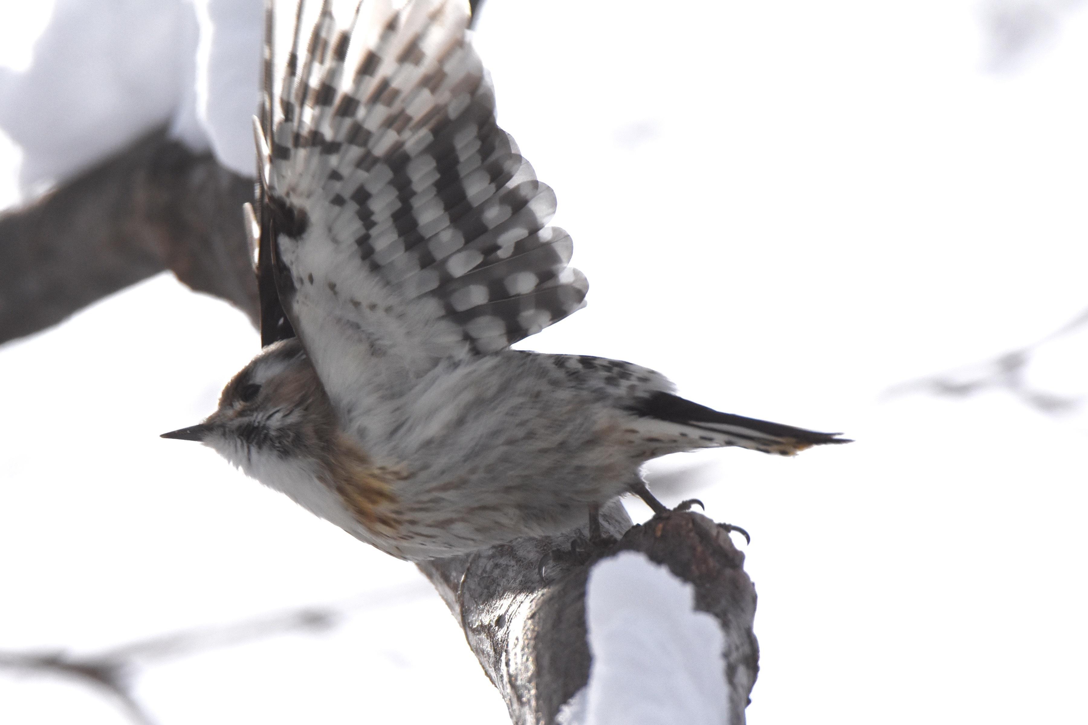 コゲラの羽