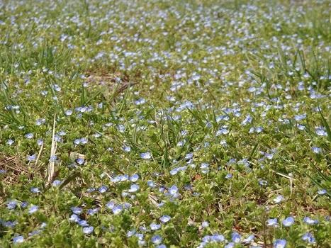 「春の野草の花咲いた:丸山公園(1)」
