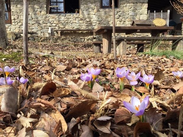 クロッカスの咲く石積みの家