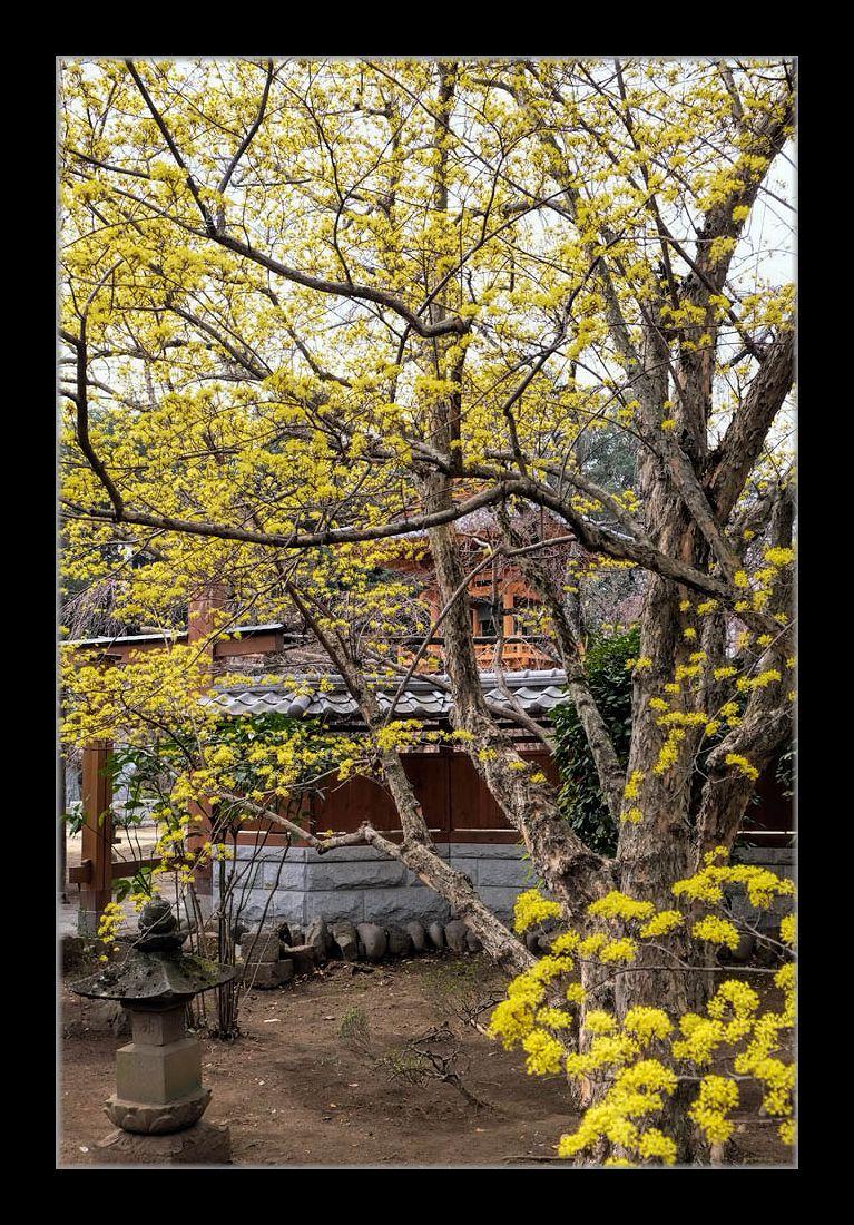 寺の山茱萸の木