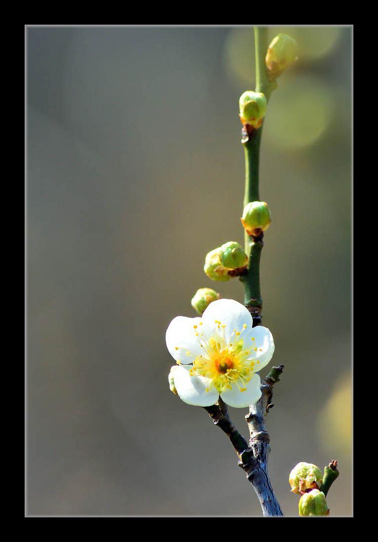 ガクが緑色の梅