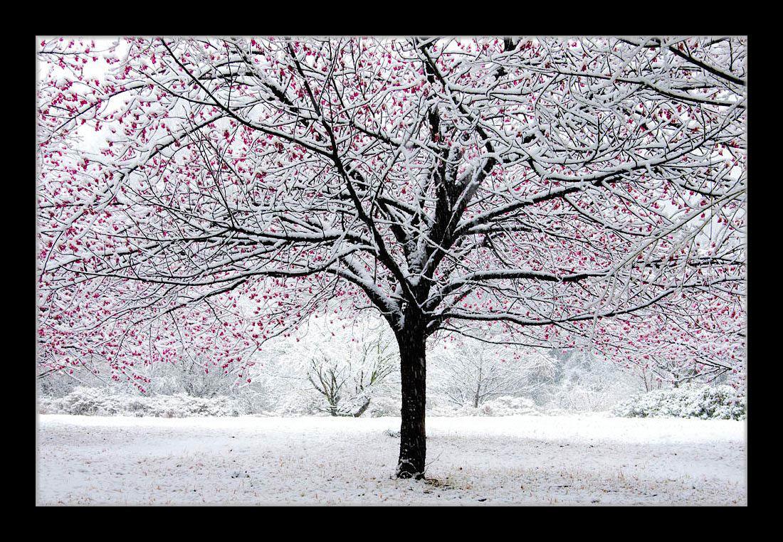 雪の寒緋桜