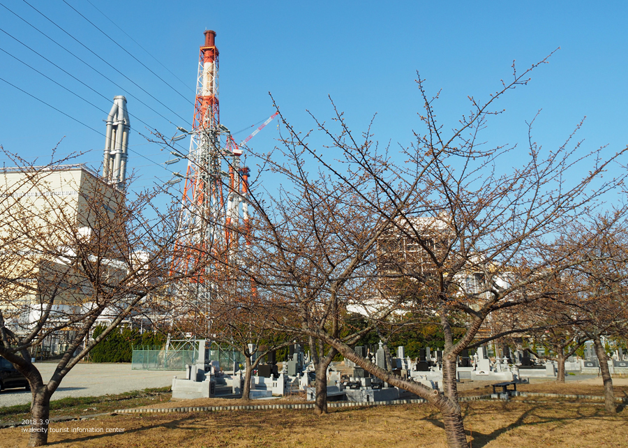 常磐共同火力(株)勿来発電所の河津桜が開花しました♪ [平成30年3月9日(金)更新]