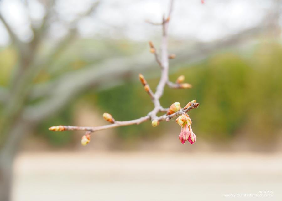 常磐共同火力(株)勿来発電所の河津桜 [平成30年2月24日(日)更新]トップ