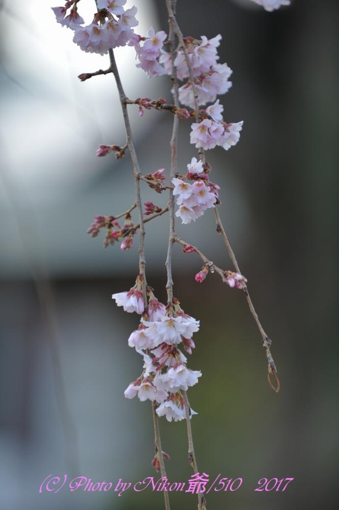枝垂れ桜 2SN