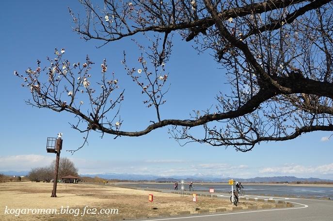 谷中湖の梅の花