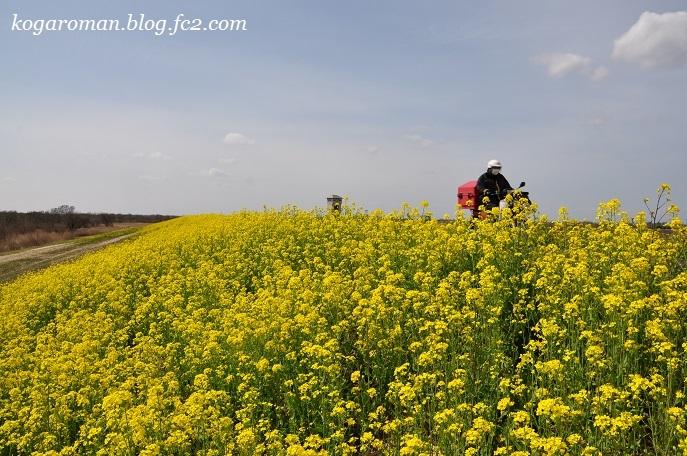 渡良瀬遊水地の菜の花