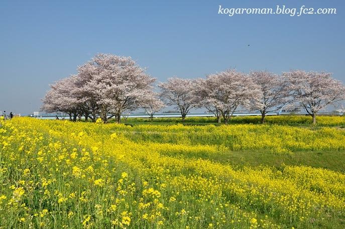 渡良瀬遊水地の桜
