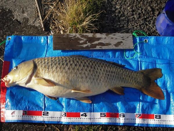 中川 鯉 84cm ミャクダンゴ