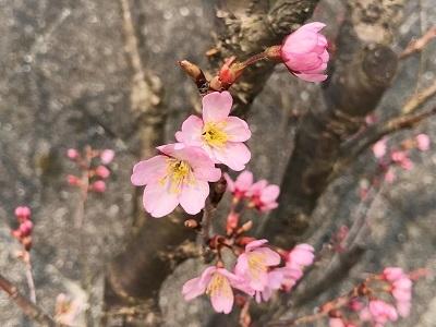 啓翁桜開花