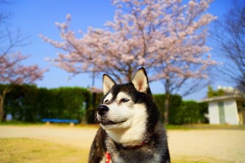 20180401桜とひな