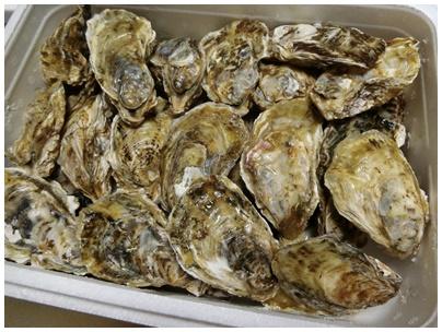 長崎県玄界灘の牡蠣1