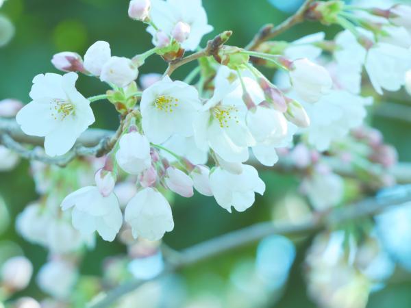 2018桜開花