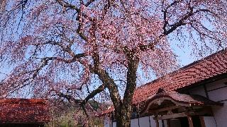 極楽寺の垂れ桜