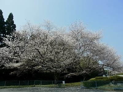 桜201801