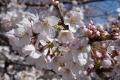 恩田川沿い桜