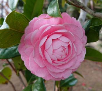 ピンク椿の八重咲き 350