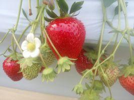 """【写真】""""おいCベリー""""の赤い実と白い花"""