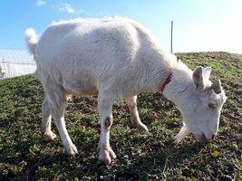 【写真】土手の草を一生懸命食べ続けるアラン