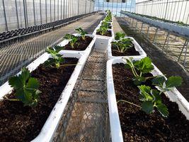 【写真】親苗を植えた白いプランターが並ぶ育苗ハウスの様子