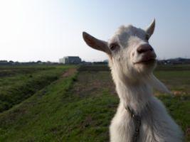 【写真】スマホが珍しくてのぞきこむ子ヤギのポール