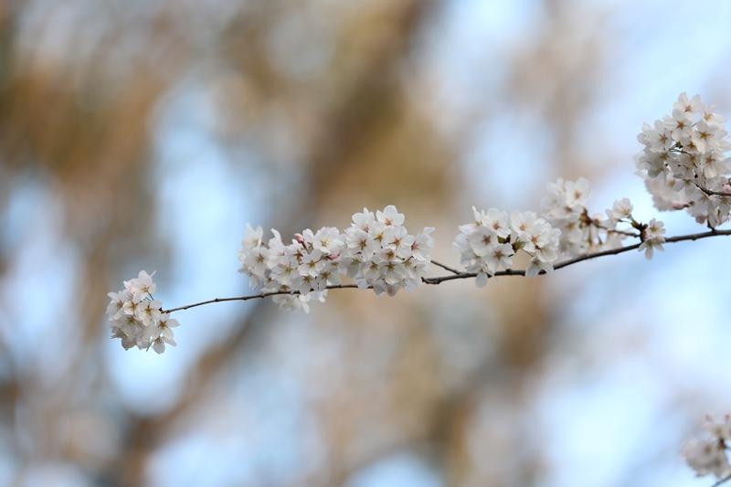 桜1180327