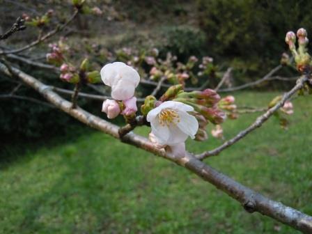 サクラ開花2(2018-03-25)
