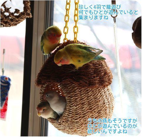 ①籠で4羽