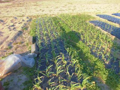 3.2安来の畑のニンニクの追肥