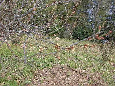 3.3梅の芽も膨らむ
