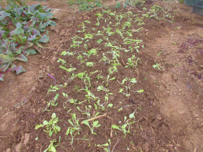 3.3レタス類定植