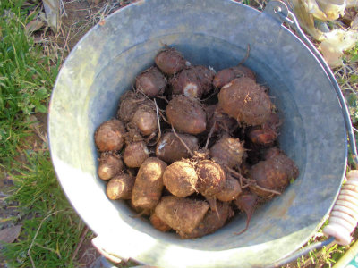 3.13里芋を全部掘り起こし