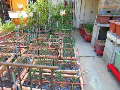 3.11狭いに庭で野菜の栽培