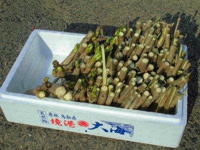 3.25タラの芽のふかし栽培