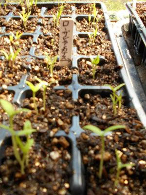 3.31ローザビアンカ茄子の発芽