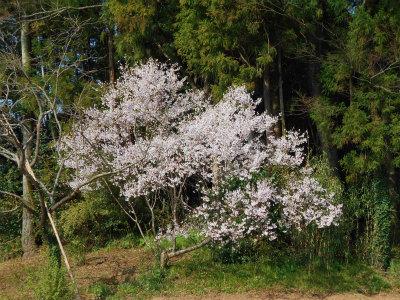3.31散歩途中の桜