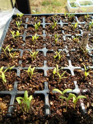 3.31第2弾緑茄子の発芽